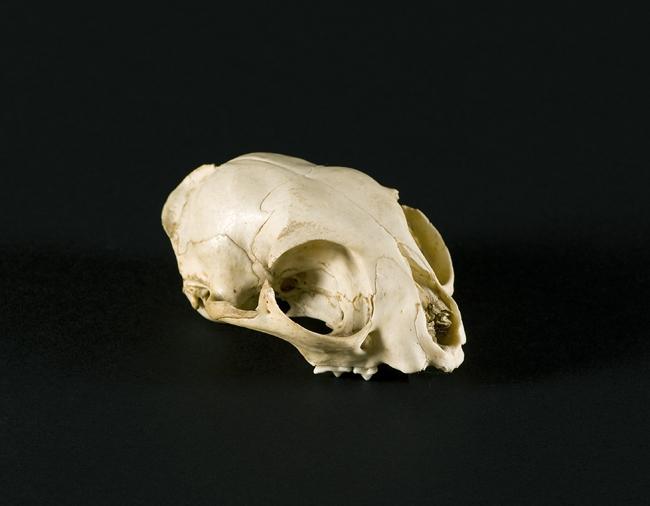 Buffalo, Señor de Montmartre de Ignacio Zuloaga